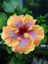 Gommers Hibiscus 2012200-2