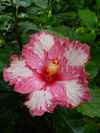 Hibiscus Cherry Snow