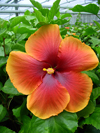 Tahitian Hibiscus Tahitian Chantal's King